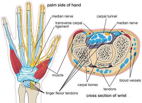 Opinion thumb flexor tendons are not
